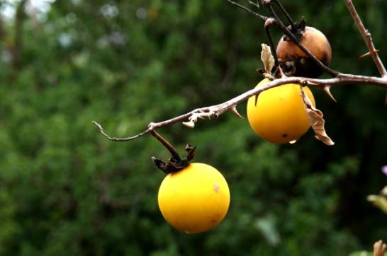 Strange fruit, Amhara