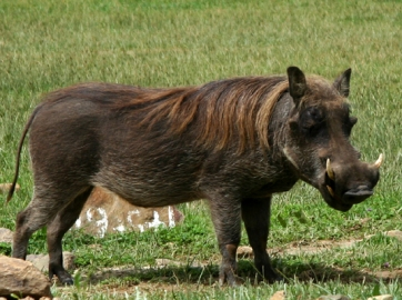 Warthog (Phacochoerus africanus), Bale Mountains National Park.