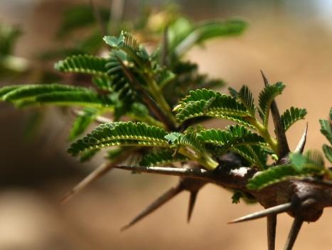 Thorns, Amhara, Ethiopia