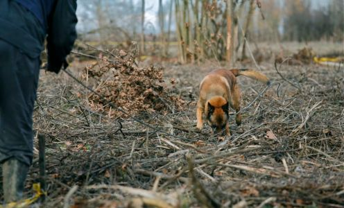 """After 11 meters there is a mark in the leash. Alen commands his dog to come back. """"Kom og søk!"""" Aaron turns around and walks the same lane back to Alen, all the time searching, snout on the ground. The lane is detected four times back and forth."""