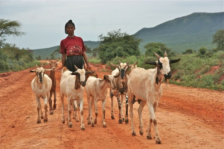 Goat sheperd ahd the goat pack on the road, Doyo village, Oromiya, Ethiopia.