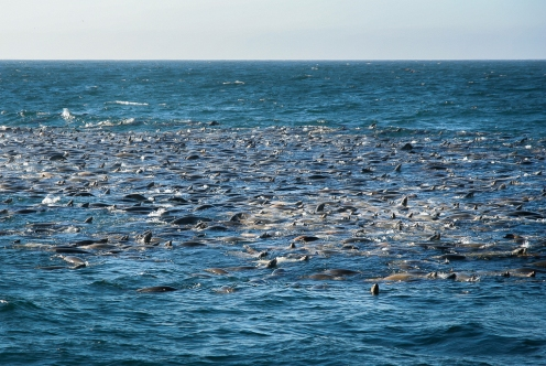 Californian sea lions packed for feeding on anchovies.
