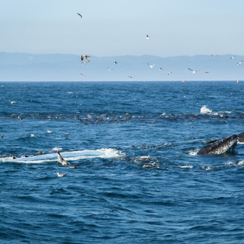 Bubble net and snout of humpback whale.