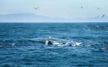 Humpback-Whales-N-Seals-Monterey-Bay-7299