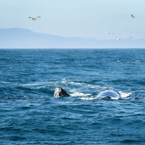 Humpback-Whales-N-Seals-Monterey-Bay-7299