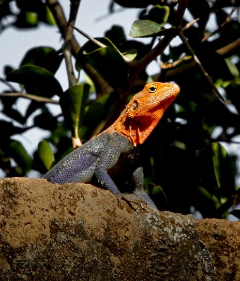 Red-headed rock agama, Lira, Uganda.
