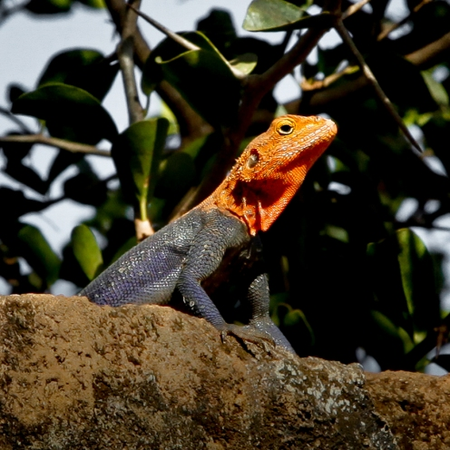 Red-headed rock agama, Lira, Uganda.