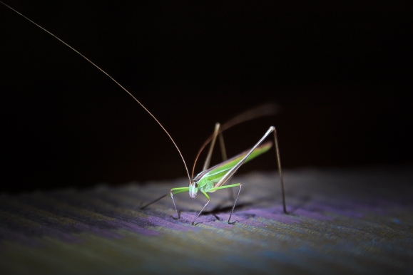 Grasshopper, Balule Nature Reserve, South Africa