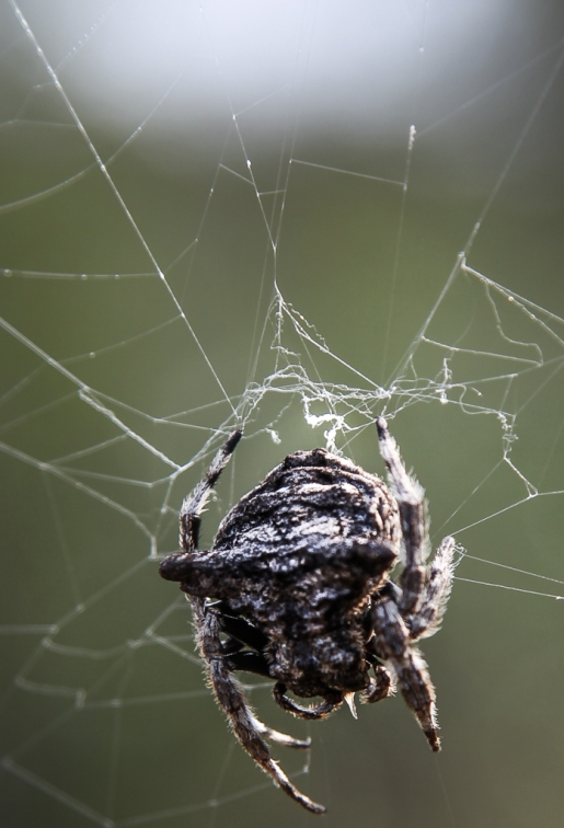 Bark spider on the web. Balule Nature Reserve, South Africa.