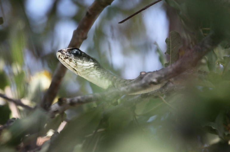 Boomslang (Dispholidus typus), a venomous), a highly venomous snake living in the trees in sub-Saharan Africa. It can open it's mouth 170 degrees wide. Balule Nature reserve, South Africa.