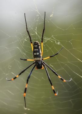 Golden orb web spider (Nephila senegalensis), Balule Nature Reserve, South Africa.
