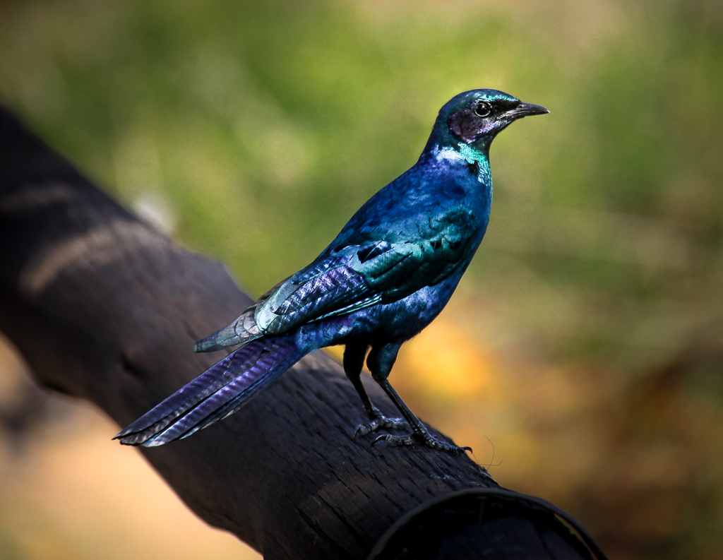 Burchell's glossy starling (Lamprotornis australis), Kruger National Park, South Africa.