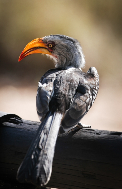 Southern yellow-billed hornbill (Tockus leucomelas), Kruger National Park, South Africa.