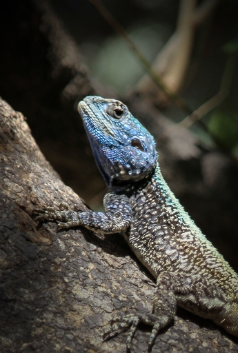 Southern rock agama (Agama atra) at Skukuza Camp, Kruger National Park, South Africa.