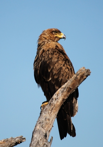 Brown snake-eagle in Kruger National Park, SA.