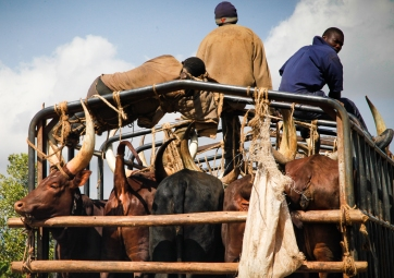 Packed cattle transport on Kabale-Kampala highway, Uganda.