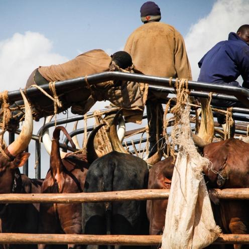 Packed cattle transport on Kabale-Kampala highway, Uganda.