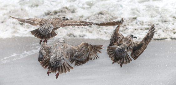 Seagulls flying over the beach, California