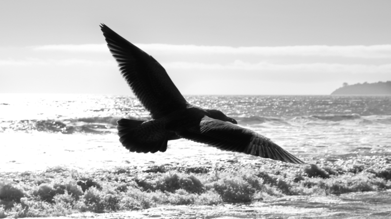 Seagull flying over the beach, California