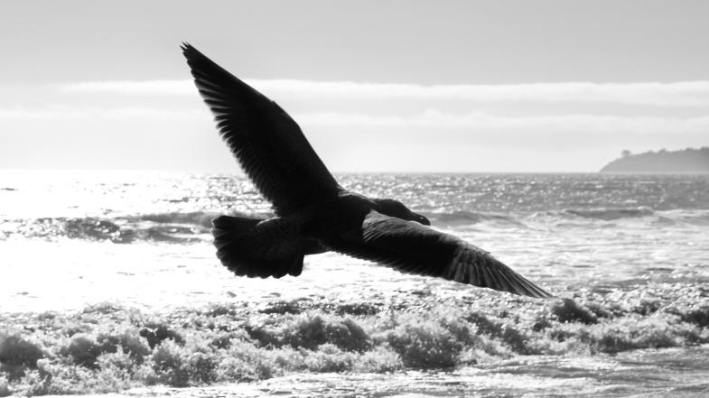 Seagull flying over the beach, California